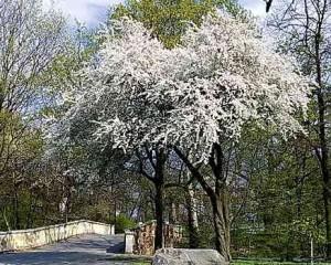ałycza - kwitnące drzewo