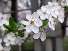 ałycza_kwiatostan