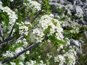 kwitnąca antypka